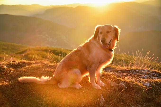Female golden retriever dog sitting outdoors, Rhodope mountains, Bulgaria.