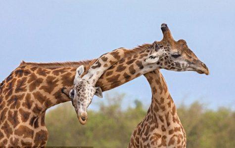 Giraffe's Tempting Body Parts