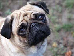 All About Dogs - Pugs