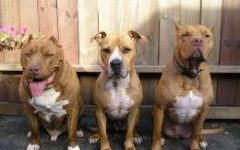 Photo from https://www.vrcpitbull.com/pit-bull-facts/