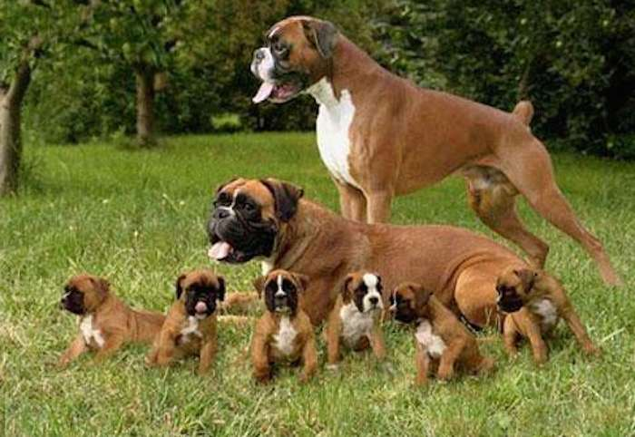 Don't know what to do with a tiny puppy boxer?